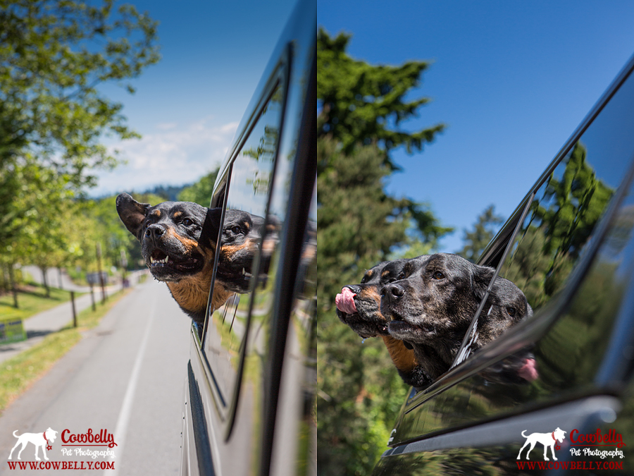 chugach and neva dogs sticking their heads out the car window