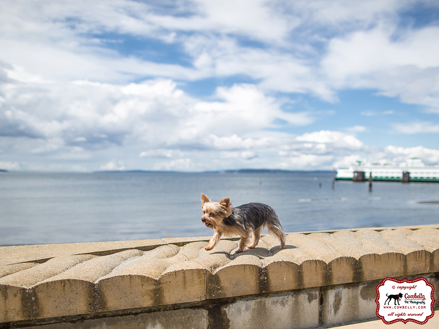 Ellie Yorkie running in waterfont wall on front of seashore