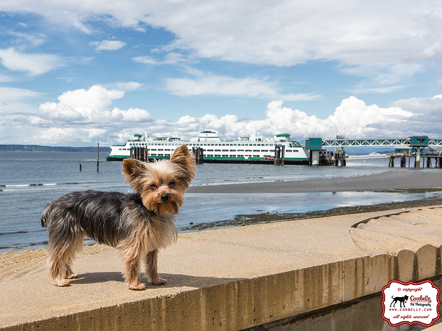 Dudley the Yorkie on the Edmonds waterfront with ferry in background