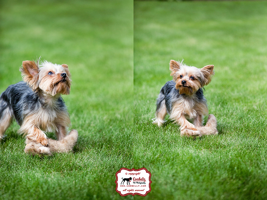 Dudley the Yorkie in grass playing with his stuffie