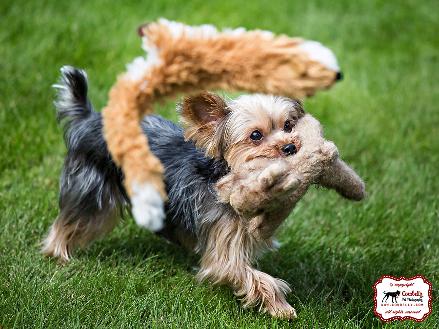Dudley the Yorkie plays with his stuffies in his backyard
