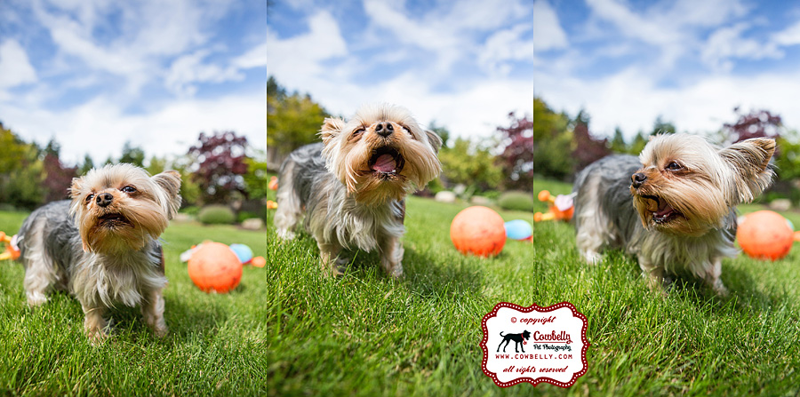 Ellie Yorkie dog making funny faces in grassy backyard with blue sky