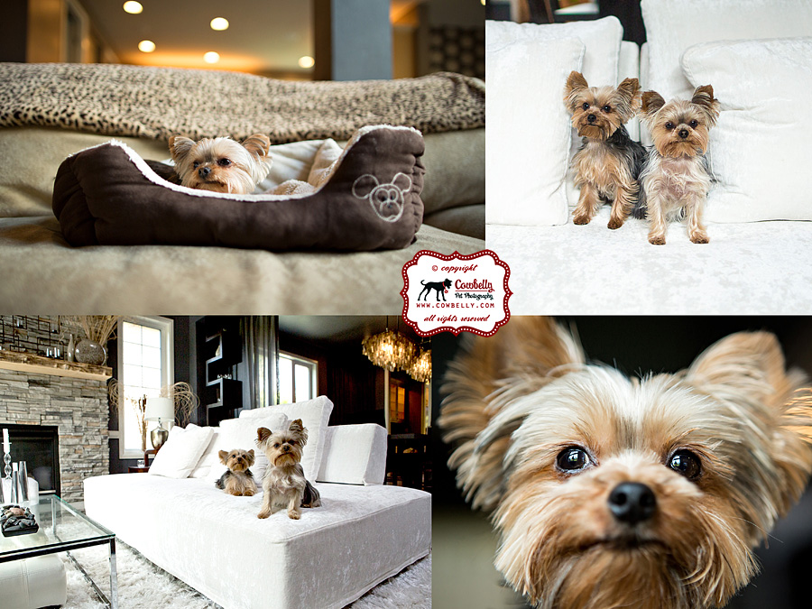 Dudley and Elli yorkies at home in their living room and family room