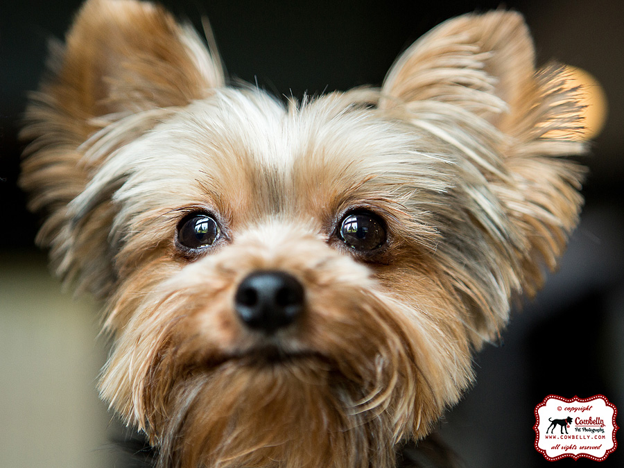 Dudley the Yorkie close-up on cute face and eyes