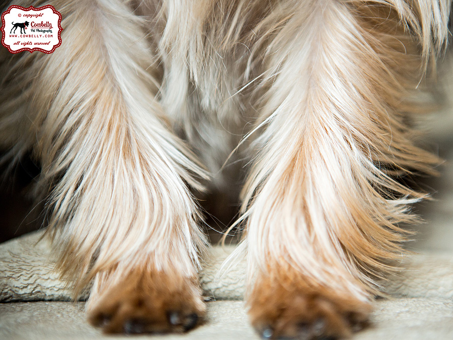 Dudley and Yorkie feet and legs close-up