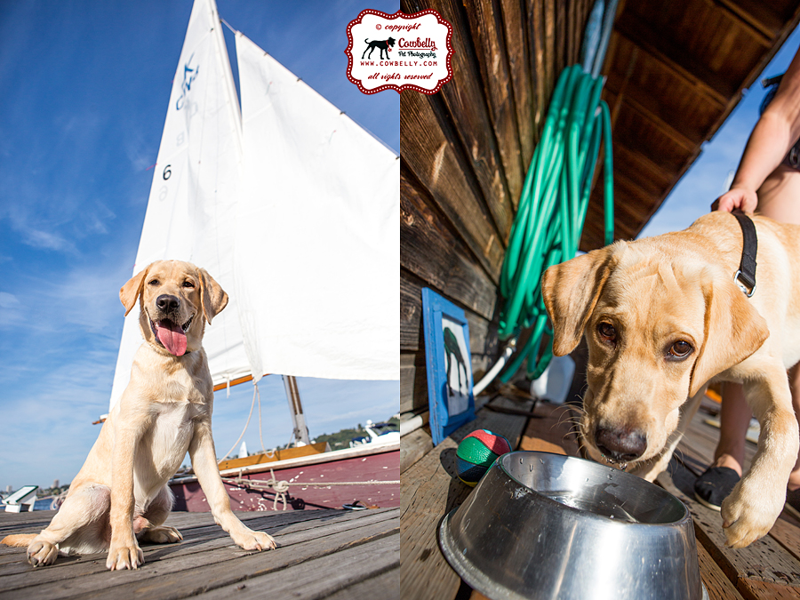Yellow lab puppy with sialboat and drinking water from a stainless steel bowl