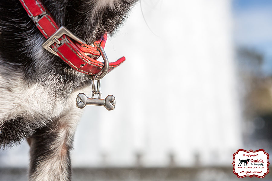 Jack the Seattle Chihuahua's tiny dog tag
