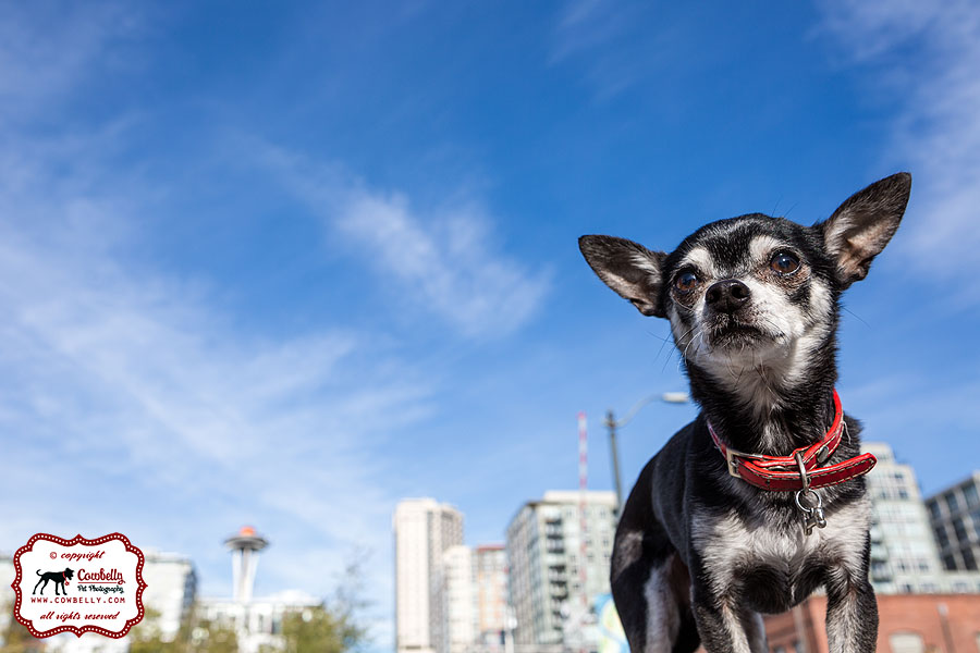Jack the Chihuahua Seattle Pet Photography