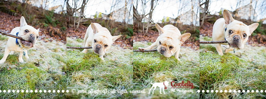 professional frenchie photography