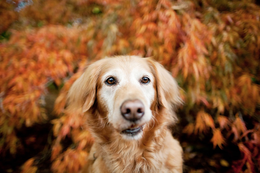 Commercial animal photography of Golden Retriever by Jamie Piper.