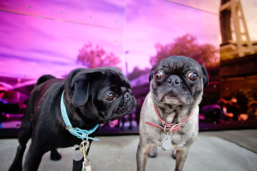 commercial dog photography of pugs