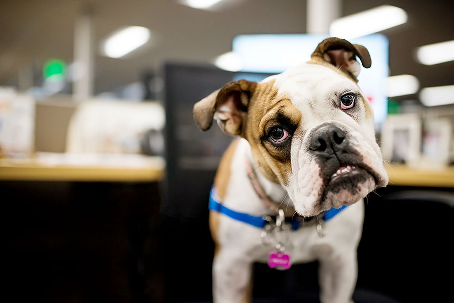 English Bulldog puppy office dog.